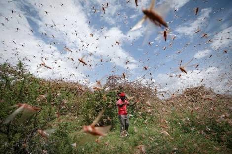 Locust attack in india